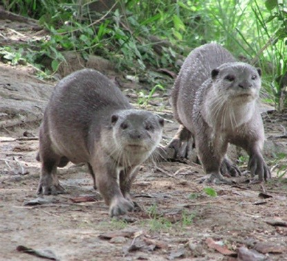smooth otter report Den characterstics of smooth-coated otters in national chambal sanctuary  of the indian smooth-otter lutra  report) wayre, p (1978.